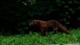 Itsey's Tasmanian Tiger Suit_Still_Rayburn