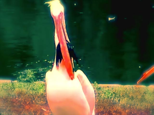 Pelican Gif 2