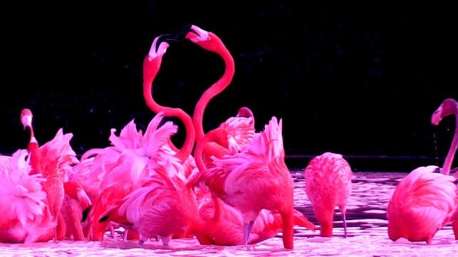 flamingo fights